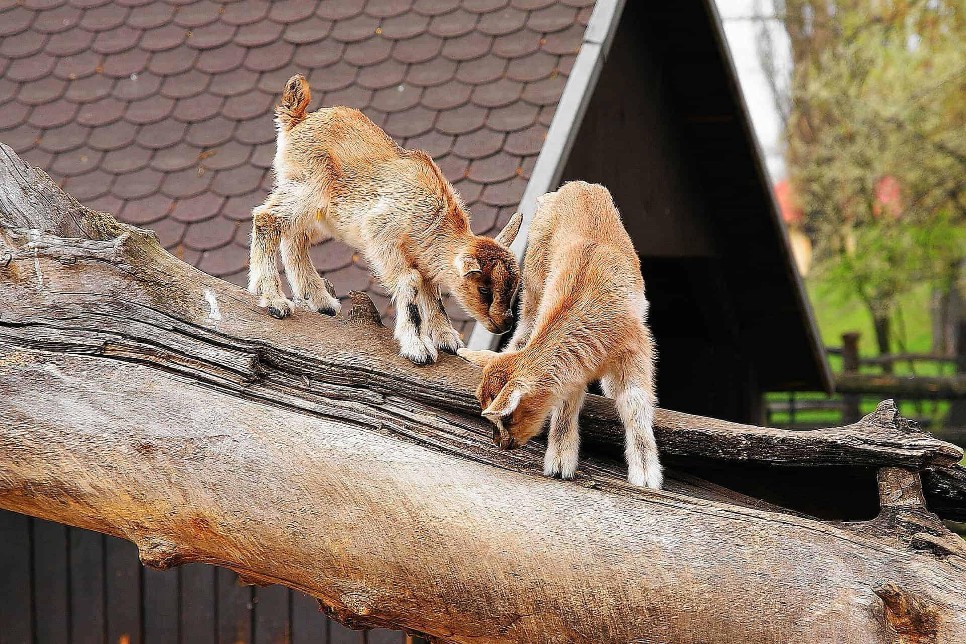 Holenderskie kozy miniaturki w zoo w Warszawie