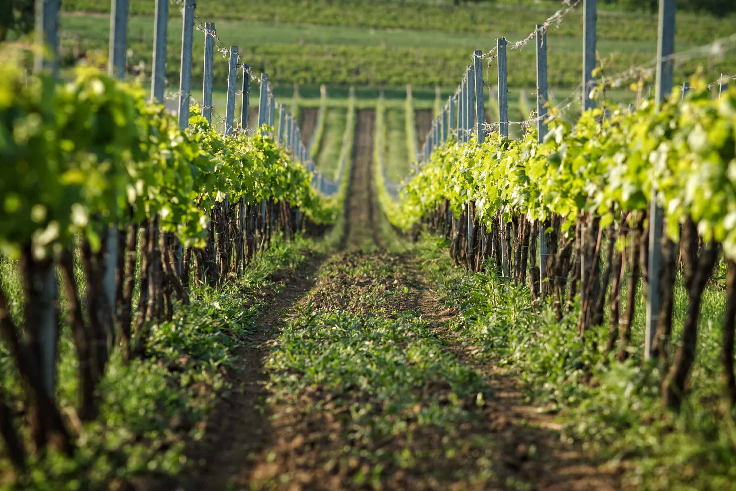 rzędy winorośli w winnicy w Palavie