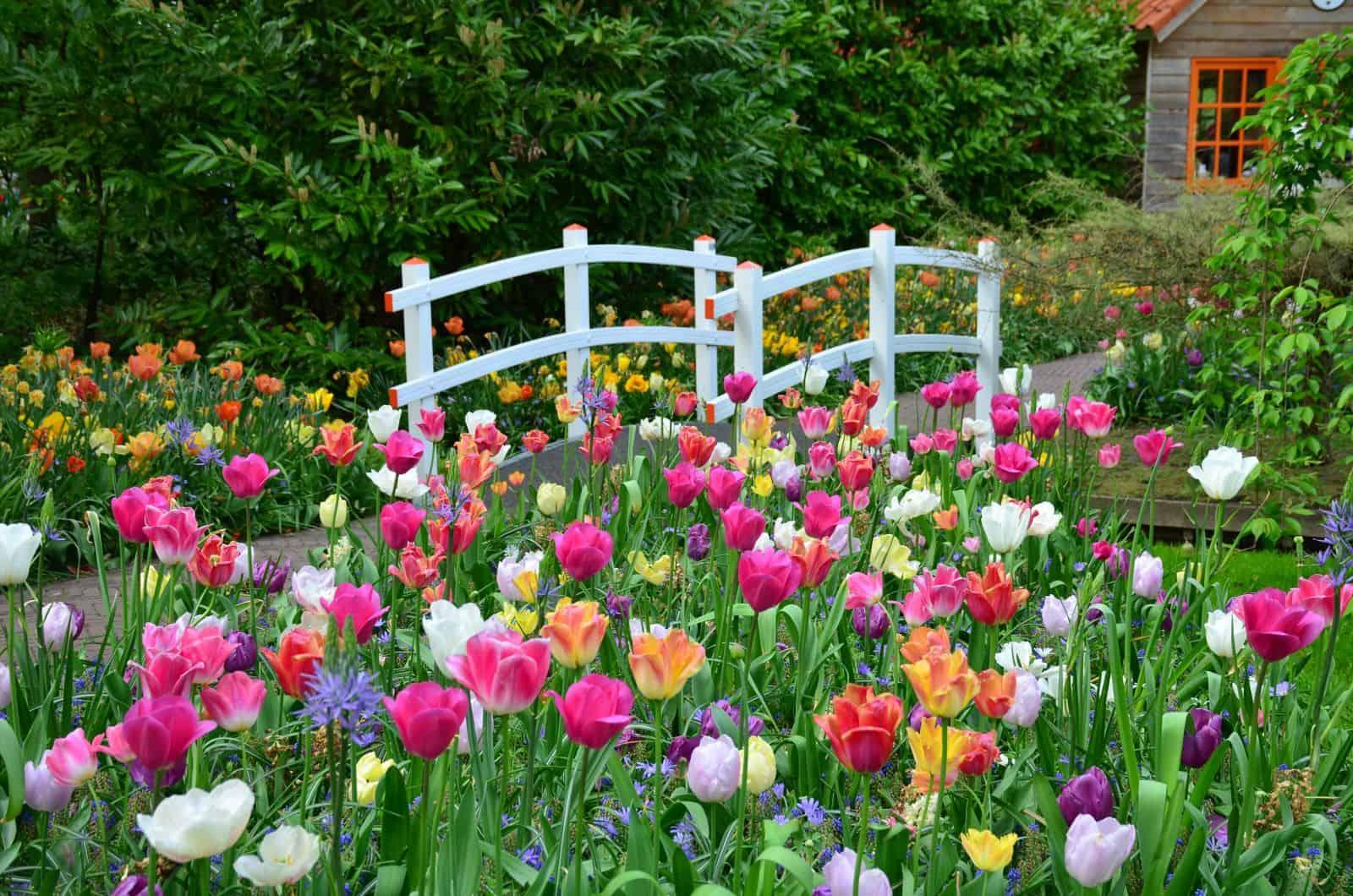 kwitnące kolorowe tulipany w ogrodach Keukenhof